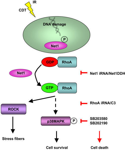 Summary of the Net1-regulated survival signals upon exposure to genotoxic agents.Upon intoxication or irradiation, Net1 is dephosphorylated and induces activation of RhoA, leading to a RhoA dependent phosphorylation of p38 MAPK and its downstream effector protein MK2. This signalling pathway can be blocked at different levels by: i) iRNA knock down of endogenous Net1 levels or expression of the dominant negative Net1ΔDH; ii) C3-mediated RhoA inhibition or iRNA knock down of endogenous RhoA levels; iii) p38 specific inhibitors. In each case, the effect of this interference results in enhanced cell death in response to genotoxic agents.