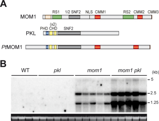 MOM1 and PKL together contribute to the control of TGS.(A) Schematic comparison of predicted protein domains of MOM1, PKL and PtMOM1 (color code as in Figure 1). (B) Northern blot showing levels of TSI transcripts of four wild-type plants (WT) and five plants of each mutant strain; pkl, mom1 and mom1pkl double mutant. Below the blot: ethidium bromide-stained RNA gel used for the blotting as a loading control.