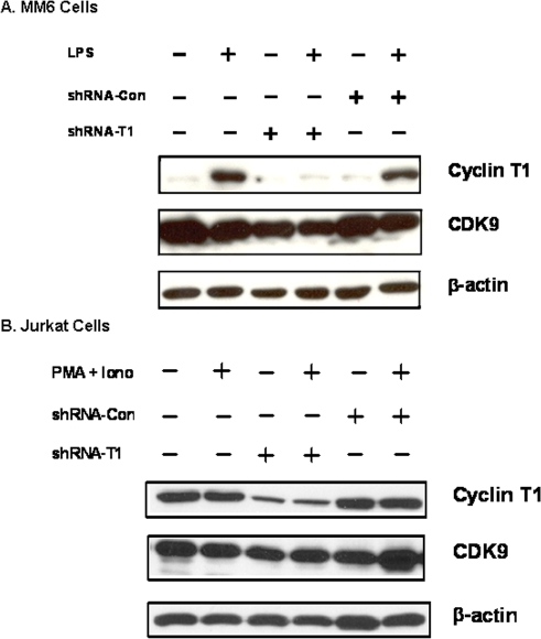 A) MM6 cells: non-infected or MM6 cells infected at an m.o.i. of five with the indicated lentiviral vector were cultured for five days. Cells were then treated with LPS for 24 hours as indicated. Cell extracts were prepared and immunoblots performed to measure levels of Cyclin T1, CDK9, and β-actin. B) Jurkat cells: non-infected or Jurkat cells infected at an m.o.i. of five with the indicated lentiviral vector were cultured for five days. Cells were then treated with PMA+ ionomycin for 24 hours as indicated. Cell extracts were prepared to measure expression of Cyclin T1, CDK9, and β-actin.