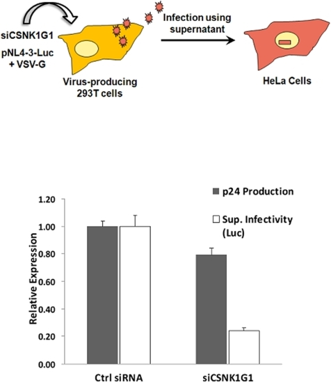 CSNK1G1 depletions.As illustrated, 293T cells were transfected with either control siRNAs or siRNAs against CSNK1G1. One day later, cells were co-transfected with the pNL4-3-Luc and pVSV-G plasmids for virus production. Supernatants were collected 48 hours later and p24 levels were measured by an ELISA assay. Infectivity of supernatants containing reporter the NL-4-3-Luc reporter viruses were measured by infecting HeLa cells with equal volume of supernatants, and Luciferase expression was measured 48 hours post-infection. Luciferase expression was normalized to the amount of p24 in the input supernatants.