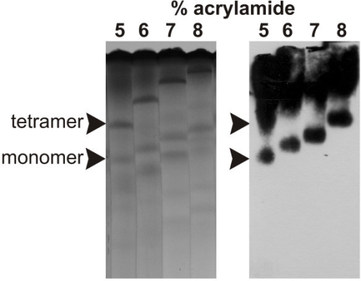 Non-denaturing electrophoresis of rPfM18AAP. Non-denaturing agarose/polyacrylamide gels (left) and immunoblot (right) showing the monomer and tetramer of rPfM18AAP. The protein was electrophoresed through non-denaturing gels containing 5, 6, 7, and 8% acrylamide. rPfM18AAP was detected with the PentaHis™ HRP Conjugate antibody.