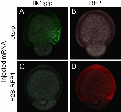 Early ectopic expression of transgenic flk1:gfp is induced by etsrp over-expression.(A) Injection of 75 pg of etsrp mRNA at one-cell stage results in the ectopic induction of flk1:gfp before the end of gastrulation. (B) No red fluorescence is observed in etsrp mRNA injected flk1:gfp transgenic embryos. (C) Injection of 500 pg of control H2B-RFP1 mRNA does not result in the early induction of flk1:gfp similar to uninjected embryos (not shown). (D) Uniform H2B-RFP1 expression in a H2B-RFP1 mRNA injected embryo. Panels A and C are composite images of light transmitted images merged with the green fluorescent channel, while panels B and D are composites of light transmitted images merged with the red fluorescent channel.