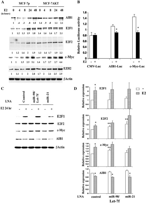 Putative targets of E2-induced microRNAs. (A) MCF-7p and MCF-7AKT cells were treated with E2 for indicated time and western blotting was performed. (B) 3′-UTR of AIB1 or c-Myc reduces E2-inducible expression of a luciferase reporter under the control of CMV enhancer-promoter. MCF-7 cells were transfected with indicated reporters along with the internal control Renila-luciferase under TK promoter-enhancer and luciferase activity was measured in untreated and E2-treated cells. *P < 0.05, ethanol treated versus E2-treated cells. (C) LNA against Let-7f/miR-98 and miR-21 differentially affect basal and E2-inducible levels of c-Myc and E2F2 proteins in MCF-7p cells. Cells were treated with control or specific LNA and treated with E2 for 24 h. Western blot analysis was done with indicated antibodies. (D) Expression levels of E2F-1, E2F-2, c-Myc and AIB1 from three to five independent experiments, as measured by densitometric scanning (Mean plus SEM), are indicated. *P < 0.05, ethanol versus E2-treated cells; **P < 0.05, control LNA treated versus Let-7f/mir-98 or miR-21 LNA-treated cells. Note the effects of LNA against Let-7f/miR98 and miR-21 on E2F2 and c-Myc but not on E2F1 and AIB1 protein levels.