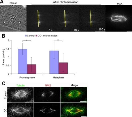 Poleward motion of TPX2 is sensitive to inhibition of dynein. (A) Images of PA-GFP-TPX2-LLC-Pk1 cells microinjected with CC1 before photoactivation. Left image is phase contrast, center images show selected images after photoactivation, and far right image shows maximal intensity projection after activation of the entire field of view. Yellow line is at a fixed position. (B) Average rates of poleward motion of TPX2 in control and CC1-injected prometaphase and metaphase cells. *p < 0.01 and **p < 0.05. (C) Distribution of TPX2 and microtubules in uninjected (top) and CC1-injected (bottom) cells. Bars, 10 μm.