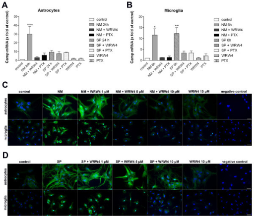 Inhibition of Neisseria meningitidis as well as Streptococcus pneumoniae-induced Camp (rat) expression by the FPRL1 antagonist WRW4 and the G-protein inhibitor pertussis toxin in glial cells. Bacterial supernatants from Neisseria meningitidis (NM) or Streptococcus pneumoniae (SP) were added to astrocytes (A) and microglia (B) with the addition of 200 ng/ml PTX (16 h preincubation) or 10 μM WRW4 (30 min preincubation) and with PTX (16 h preincubation) and WRW4 (30 min preincubation) alone to analyze the effect on Camp mRNA expression after 24 h (astrocytes; a) or 6 h (microglia; b) of treatment. The induction was analyzed and compared to an untreated sample (also with DMSO in equivalent amount). GAPDH (housekeeping gene) was used as an internal control. The data from three independent experiments performed in triplicate were assessed. An asterisk (*, p < 0.05; **, p < 0.01) indicates a significant difference between Camp expression after treatment and control (as determined by ANOVA followed by the Bonferroni test). Astrocytes or microglia were incubated with NM (C) or SP (D) with or without 1, 5 or 10 μM WRW4 (30 min preincubation) and WRW4 alone for 24 h or 12 h, respectively. Glial cells were fixed and labelled with anti-rCRAMP antibodies and protein expression was examined by immunofluorescence microscopy. Bisbenzimide was used for nuclear counter-staining (blue). The figures show representative results from one of three independent experiments. Scale bar: 20 μm.