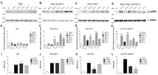 FPRL1- and MARCO-mediated ERK1/2 phosphorylation and changes of cAMP levels in transfected HEK293 cells. For analysis of ERK1/2 phosphorylation, untransfected (A) or hMARCO- (B), hFPRL1- (C), and hFPRL1/hMARCO- (D) expressing HEK293 cells were treated with Neisseria meningitidis (NM), Streptococcus pneumoniae (SP) or 1 μM fMLF for 5 and 15 min at 37°C. Cells were lysed, equal amounts of protein (5 μg) were dissolved by SDS sample buffer, and levels of total ERK2 and phosphorylated ERK1/2 were determined via immunoblotting. The positions of molecular mass markers are indicated on the left (in kDa). The mean ± SD of the three independent experiments were evaluated by densitometric quantification normalized to ERK2 expression (E to H). Asterisks indicate a significant difference (*, p < 0.05; **, p < 0,01; ***, p < 0,001) compared to control (one-way ANOVA followed by the Bonferroni test). For analysis of inhibition of forskolin-stimulated adenylate cyclase activity, untransfected (I) or hMARCO- (J), hFPRL1- (K), and hFPRL1/hMARCO- (L) expressing HEK293 cells were subjected to 25 μM forskolin as well as to NM or 1 μM fMLF for 15 min at 37°C. cAMP levels were determined as described above (see Methods). The values represent mean ± SEM from four independent experiments. Asterisks indicate a significant difference (*, p < 0.05; **, p < 0,01) between forskolin plus agonists and forskolin alone, as determined via one-way ANOVA followed by the Bonferroni test.