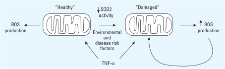 """Healthy"" mitochondrial response to cellular stimuli such as TNF-α generates functional parameters that result in normal cell function. Disease risk factors cause mitochondrial damage that changes cellular response stimuli via increased oxidants, which creates a cycle of mitochondrial ROS production and inflammation."