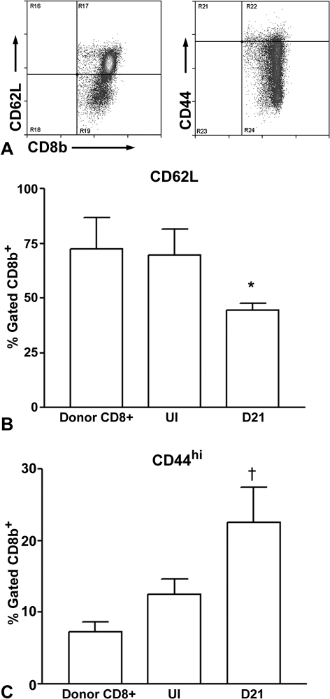 Characterization of cells transferred to recipient Rag-1−/− mice.T cells enriched from pooled spleens of CD4−/− mice (Donor CD8+) were used for flow cytometric analysis and compared with T cells enriched from spleens of CD8+ T cell recipient Rag-1−/− mice 48 hours after cell transfer without injury (UI), and 21 days after injury (D21). Representative flow cytometric analysis of CD62L or CD44 gated on CD8b+ cells from donor mice (A). CD8b+CD62L+ (B) and CD8b+CD44hi (C) cells T cells were compared between Donors (N = 3), UI recipients (N = 4) and D21 recipients (N = 4). *P<0.05 vs Donors and UI; †P<0.01 vs Donors and UI.