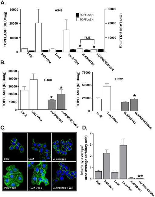 Decoy Wnt receptor sLRP6E1E2 reduces cytosolic β-catenin and T-cell factor transcriptional activity.(a) TCF/LEF luciferase reporter assay in A549 cells. To characterize the sLRP6E1E2 effects on the Wnt3a/β-catenin signaling, cells were transfected with TOPflash (containing wild-type TCF binding sites) or FOPflash (containing mutated TCF binding sites) luciferase vector. *P<0.05 versus dE1-k35/LacZ-transduced or PBS-treated cells. (b) TCF/LEF luciferase reporter assay in H460 and H322 cells. *P<0.05 versus PBS or dE1-k35/LacZ-transduced cells with or without Wnt3a. (c) H322 cells were transduced with dE1-k35/LacZ or dE1-k35/sLRP6E1E2 (50 MOI) with or without Wnt3a. Cells were labeled with anti-β-catenin. Original magnification, ×630. (d) Semi-quantitative analysis of panel (c) results using MetaMorph® imaging analysis software. Each data point indicates mean ± SEM (each group, n = 5). **P<0.001 versus PBS or dE1-k35/LacZ-transduced cells with Wnt3a.