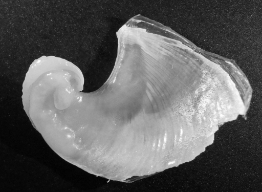 Dolabella auricularia, shell of 46 mm specimen (24 mm maximum shell dimension).
