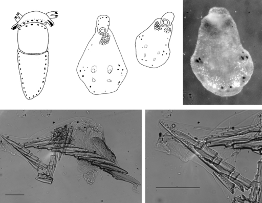 Cyerce bourbonicasp. n. A ventral view of holotype B selection of larger cerata of paratype (formaldehyde) showing morphology: globular patches at base near attachment point, the small flap, and some black pigment spots remaining at the distal end C photograph of ceras of paratype (alcohol) from anterior side showing denticulate margin and pointed papillae D whole radula of paratype (formaldehyde) E single tooth magnified to show denticles and shape of shaft. Scale bars 100 µm.