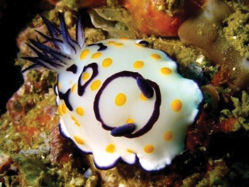 Chromodoris annulata, Persian Gulf, photo: S Kahlbrock (no spcm).