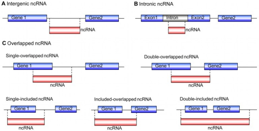 Classification of ncRNAs in relation to protein-coding genes.(A) The entire EST is transcribed from an intergenic region, regardless of the transcription orientation. (B) The entire EST is transcribed from an intron, regardless of the transcription orientation. (C) Single-overlapped ncRNA: EST partially overlapped with a gene; Double-overlapped ncRNA: Both ends of the EST overlapped with two genes and spanned an intergenic region; Single-included ncRNA: The gene was fully included inside the EST; Included-overlapped ncRNA: One gene was fully included within the ncRNA, and the ncRNA spanned the intergenic region and overlapped with a neighbour gene; Double-included ncRNA: More than one genes were fully included within the EST.