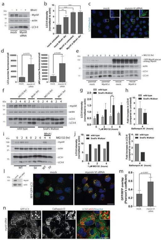 Loss of myosin VI function leads to an accumulation of autophagosomes(a) Western blot analysis of myosin VI depleted Hela cells untreated or treated with 100 nM Bafilomycin A1. (b) Quantitation of Western blot LC3-II intensity (+/− s.d.) (n=3). **p<0.01, ***p<0.001 (c) Confocal immunofluorescence microscopy of LC3 punctae (green) in Hela cells following knockdown of myosin VI. Hoechst labels nuclei (blue). Scale bar, 20 μm. (d) Quantitation of LC3- and p62-positive punctae was performed and results are represented as average punctae fluorescence intensity/cell (+/− s.d.) (n=3) from >1500 cells/experiment. (e) Western blot analysis of parental Hela cells or Hela cells stably expressing siRNA resistant GFP-myosin VI transiently transfected with a single myosin VI siRNA oligonucleotide following treatment with 1 μM MG132. (f) Western blot analysis of mouse embryonic fibroblasts cultured from wild-type and Snell's Waltzer (SV) mice treated with 1 μM MG132 or 100 nM Bafilomycin A1. (g) Quantitation of Western blot LC3-II intensity (+/− s.d) (n=3). **p<0.01. (h) To evaluate effects on autophagosome biogenesis, results are displayed as the fold increase in normalised LC3-II intensity with Bafilomycin A1 compared to untreated control. (+/− s.d.) (n=3) (i) Western blot analysis of cortical neurons from wild-type and SV mice treated with 1 μM MG132 in the absence or presence of 100 nM BafilomycinA1. (j) Quantitation of Western blot LC3-II intensity was performed. (n=2) (k) To evaluate effects on autophagosome biogenesis, results are displayed as fold increase in normalised LC3-II intensity with Bafilomycin A1 compared to untreated control. (n=2) (l) Confocal immunofluorescence microscopy of mock or myosin VI siRNA treated Hela cells stably expressing RFP-GFP-LC3 reporter. Hoechst labels nuclei (blue). (m) Quantitative data of RFP and GFP signal overlap from confocal images of mock or myosin VI siRNA treated Hela cells expressing RFP-GFP-LC3. Data is represented as the Pearson's coefficient of RFP and GFP signal correlation from >100 cells/experiment. (+/− s.d.) (n=3) Scale bar, 20 μm. (n) Confocal immunofluorescence microscopy of myosin VI depleted RPE cells stably expressing GFP-LC3 immunostained against GFP (green) and Cathepsin D (red). Hoechst labels nuclei (blue). Insets represent magnified boxed regions. Scale bar, 20 μm.