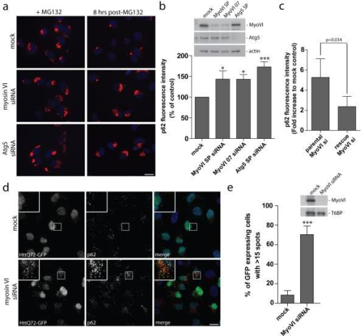 Myosin VI is required for autophagosomal degradation of huntingtin and p62-positive protein aggregates(a) RPE cells transiently transfected with siRNA against myosin VI and Atg5 were treated with 1 μM MG132 for 16 hours. Cells were processed for immunofluorescence microscopy following 16 hours MG132 treatment (zero time point) and 8 hours post-washout of inhibitor. Immunolabelling for p62 was performed to visualize aggregates (red) and Hoechst was utilized to identify nuclei (blue). Scale bar, 20 μm (b) Quantitation of immunofluorescent p62 positive aggregates was evaluated using an automated Cellomics VTi microscope. Results were calculated as the average p62 fluorescence intensity at 8 hours post-MG132 washout normalized to the zero time point and represented as percent of control (+/− s.d.) (n=3). * p<0.05, ***p<0.001. (c) Parental or stable expressing siRNA resistant GFP-myosin VI Hela cells were transiently transfected with a single target myosin VI siRNA oligonucleotide and were subsequently treated with 1 μM MG132 for 16 hours. Cells were processed for immunofluorescence microscopy at 16 hours post-MG132 treatment (t=0) or allowed to recover following washout of MG132 for 8 hours (t=8). Cells were processed for quantitation with the automated Cellomics VTi microscope to evaluate p62 fluorescence intensity. Results represent the fold increase in p62 fluorescence intensity of myosin VI siRNA compared to mock control cells following recovery from MG132 washout (t=8) (+/− s.d) (n=3). (d) Hela cells with stable expression of HttQ72-GFP were transiently transfected with siRNA against myosin VI followed by saponin extraction and processing for immunofluorescence microscopy. Immunolabelling was performed for GFP (green) and p62 (red). Nuclei are labelled with Hoechst (blue). Scale bar, 20 μm. (e) Quantitation of HttQ72-GFP aggregates was performed on myosin VI siRNA transfected Hela cells. Results were calculated as the percentage of GFP expressing cells with greater than 15 GFP-positive spots/cell. Results represent the mean (+/− s.d) from n=3 independent experiments, *** p<0.001.