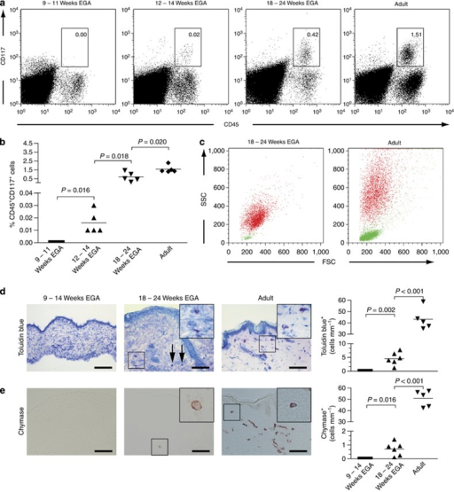 Mast cells appear during the first trimester but are not fully mature at midgestation. (a) Flow cytometric analysis of freshly isolated single cell suspensions of embryonic, fetal, and adult skin revealed the presence of immature mast cells in fetal skin. Shown are representative dot plots of five experiments per group. (b) Graphs show the increase in mast cell numbers of developing skin analyzed by flow cytometry. Five specimens were investigated per age group. Bars represent the mean of investigated groups. (c) The size, granularity, and numbers of CD45+CD117+ cells (red dots) and CD45+CD3+ cells (green dots) between fetal and adult skin are compared. (d, e) Toluidin blue (d) and chymase (e) stainings were performed on cryostat sections of embryonic, fetal, and adult skin (left panel). Arrows denote toluidine blue-expressing cells in fetal dermis. Bar=100 μm. The numbers of metachromatic cells (d, right panel) and chymase+ cells (e, right panel) were determined and bars represent the mean of investigated groups (n=5–6 per group). EGA, estimated gestational age; FCS, forward scatter; SSC, side scatter.