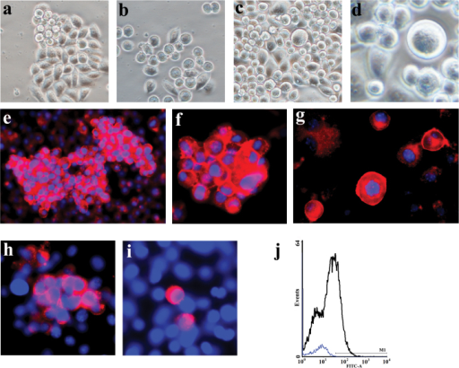Further differentiation of early PGCs.(a) Suspending cell aggregates. (b) Suspending individual germline-like cells. (c) Appearance of bigger cells. (d) A bigger germline-like cells in high magnification. Expression of c-kit protein in a subpopulation of germline-like cells. Immunocytochemistry showed that DAZL was detected in germline-like cell aggregates (e), suspending cell aggregates (f), and individual germline-like cells with different diameter (g). Immunocytochemistry showed that Vasa were detected in cell aggregates (h) and individual germline-like cells (i). (j) Flow cytometry analysis showed the ratio of Vasa+ cells were in cultures at day 25. Scale bars = 10 μm in (a-d), 25 μm in (e-i).