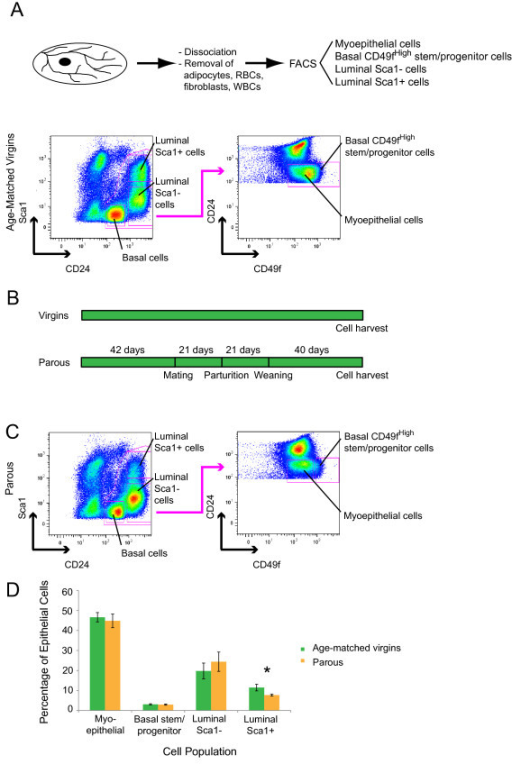 The CD24/Sca1 and CD49fHigh/CD24 flow-cytometry profiles of parous and age-matched virgin mice are similar. (A) Schematic illustration of the cell-isolation strategy and representative flow-cytometry pseudocolor plots of mammary cells from age-matched virgin control mice. After depletion of CD45+ white blood cells, luminal and basal mammary epithelial cells were separated on the basis of CD24 and Sca1 expression. Further separation of basal cells into myoepithelial and basal stem/progenitor cell subpopulations was based on the expression of CD24 and CD49f. The isolated mammary epithelial cell subpopulations included luminal Sca1+ (CD24+HighSca1+) cells, luminal Sca1- (CD24+HighSca1-) cells, basal CD49fHigh (CD24+LowSca1-CD49fHigh) or basal stem/progenitor cells, and basal myoepithelial (CD24+LowSca1-CD49fLow) cells. (B) Outline of the mouse mating, parturition, weaning, and involution protocol. (C) Representative flow-cytometry pseudocolor plots of mammary cells from parous mice. The gates applied were the same as those for age-matched virgin controls. (D) Bar graph showing the distribution of mammary epithelial cell subpopulations comparing cells from parous with age-matched virgin control mice. Data represent the mean ± SEM of seven cell-isolation experiments with a minimum of 10 mice per experiment. The proportion of luminal Sca1+ cells was reduced by approximately 50% in parous mice (P = 0.02 with a two-tailed unpaired Student t test).