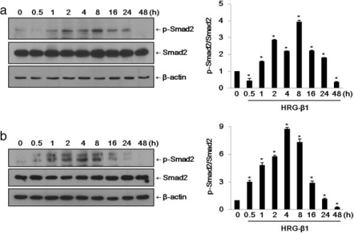 HRG-β1 induces phosphorylation of Smad2 in SK-BR-3 (a) and MCF7 (b) cells. (a) After 16 h of serum starvation in serum-free medium, SK-BR-3 cells were treated with 25 ng/ml of HRG-β1 for the indicated times. Immunoblots were probed with anti-phospho-Smad2 and anti-Smad2 antibodies. (b) The phosphorylation of Smad2 and total Smad2 were analyzed by western blotting in MCF7 cells. In all cases, β-actin was evaluated as a loading control. Data represent the means ± SD of three independent experiments. *P < 0.05, significant difference.