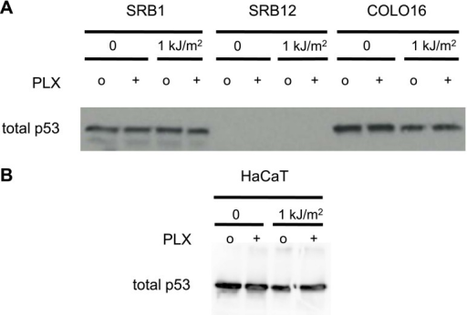 p53 does not respond to stress in cSCC and HaCaT cell lines.cSCC cell lines SRB1, SRB12, and COLO16 were either unirradiated or irradiated with 1 kJ/m2 of UVB in the absence ('o', 1:2000 DMSO) or presence ('+') of 1 μM PLX4720 and isolated for protein extracts 24 hr later. (A) Western blots of total p53 reveal that none of the cell lines upregulate p53 in response to UV irradiation. SRB12 cells do not express p53. (B) HaCaT cells are known to be mutant for p53 and the presence of p53 in unstressed cells, combined with the failure to upregulate levels following UV radiation, is a hallmark of functionally inactive p53 in cell lines. Loading controls are the same as those in Figure 1F.DOI:http://dx.doi.org/10.7554/eLife.00969.009