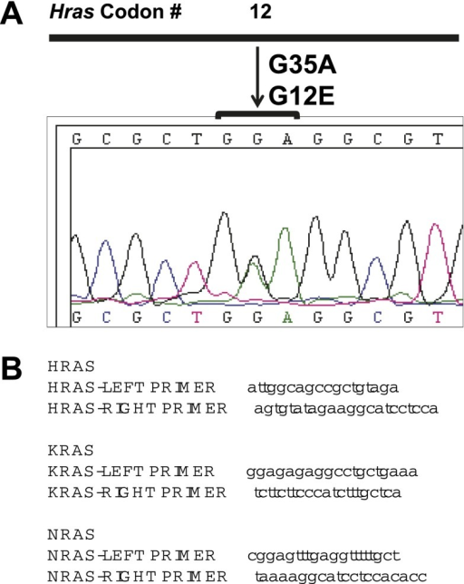 cSCC and papillomas arising in Hairless mice treated with PLX4720 do not have Ras mutations.(A and B) cDNA was reverse-transcribed from total RNA, PCR-amplified with the above primers (B) and analyzed by Sanger sequencing for mutations in both directions. No mutations in Hras, Kras, or Nras were detected in any of the papillomas (n = 5) or carcinomas (n = 3) isolated from PLX4720-treated mice. One of the papillomas from untreated mice had a heterozygous point mutation (A) in Hras (G35A, G12E) among 14 samples (12 papillomas, 2 cSCC).DOI:http://dx.doi.org/10.7554/eLife.00969.021