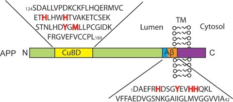 Copper binding domains on APP. APP contains two high-affinity copper binding domains: one on its N-terminus and the other on the Aβ sequence. Highlighted in red are the copper binding ligands in the CuBD and in the Aβ1–42 sequence. Abbreviations: Aβ (amyloid-β); APP (amyloid precursor protein); CuBD (copper binding domains); TM (trans-membrane).