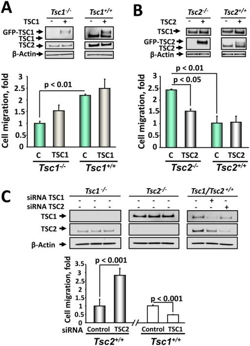 TSC1 and TSC2 re-expression or siRNA-induced knock-out validate their differential role in regulating cell migration.A: Re-expression of TSC1 rescues Tsc1−/− MEFs migration. MEFs were transiently transfected with TSC1 for 48 h, serum deprived followed by migration assay. B: Re-expression of TSC2 inhibits Tsc2−/− MEF migration. Tsc2+/+ and Tsc2−/− MEFs were transiently transfected with TSC2, serum deprived followed by migration assays. TSC1 and TSC2 re-expression were confirmed by immunoblot analysis of equalized in protein content samples. Migration of Tsc1−/− (A) and Tsc2−/− MEFs (B) transfected with control plasmid was taken as 1 fold. Data represent mean values ± SE from two different experiments with three replicates for each condition by ANOVA (Bonferroni-Dunn test). C: Downregulation of TSC2, but not TSC1, promotes migration of wild type MEFs. Tsc2+/+ and Tsc1+/+ MEFs were transfected with siRNA TSC1, siRNA TSC2, and control siRNA. 48 h post-transfection, migration assays were performed. Protein levels were detected by immunoblot analysis with specific anti-TSC1 and anti-TSC2 antibodies under the same experimental conditions. Migration of wild type Tsc1+/+ (right) or Tsc2+/+ MEFs (left) transfected with siGLO RISC-Free siRNA was taken as 1 fold. Data represent mean values ± SE from measurements performed in triplicate from two separate experiments.