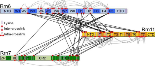 Core Factor crosslinking mapLinkage map of crosslinked CF lysine residues. Schematics of each CF subunit showing the predicted domain organization. Purple bars denote lysine positions and the N-terminal amine, while red spheres connected by dashed black lines indicate intra- and inter-molecular crosslinked lysine pairs.