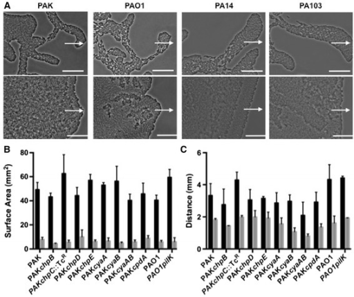 Examination of twitching motility-mediated biofilm expansion in response to eATP by wildtypeP. aeruginosastrains and mutants ofcyaA,cyaB,cpdAor the Chp chemosensory system. The twitching motility response of P. aeruginosa strains to eATP at the interstitial space between a solidified nutrient media-coated microscope slide and a coverslip after incubation for 15 h at 37°C. (A) Phase-contrast microscopy of interstitial biofilms of wildtype P. aeruginosa strains PAK, PAO1, PA14 and PA103 in the presence of a H2O-saturated disc (upper images) or ATP-saturated disc (lower images). Scalebar is 50 μm and the arrows indicate the direction of expansion towards the disc. Images are representative of three independent experiments. (B) Surface areas of interstitial biofilms formed in the absence of eATP (black bars) or a constant concentration of 7.5 mM eATP (grey bars); (C) the distances expanded towards a H2O-saturated disc (black bars) or ATP-saturated disc (grey bars). The data are represented as the mean ± SD for three independent experiments.