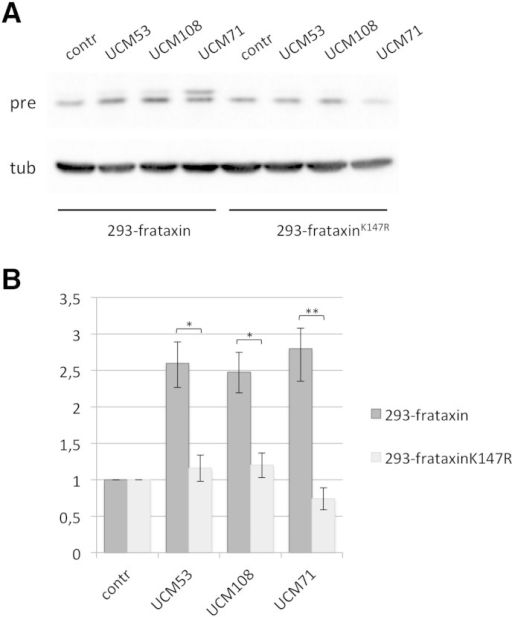 UCM promote frataxin precursor accumulation by preventing K147-dependent degradation.(A) 293 Flp-In cells stably expressing frataxin1 -210 (293-frataxin) or the lysine-mutant frataxinK147R (293-frataxinK147R) were treated for 24 hrs with 10 μM of the indicated UCM. Proteins were resolved on SDS–PAGE and revealed with anti-frataxin antibody or anti-tubulin, as a loading control. Pre: precursor; tub: tubulin. (B) The graph represents relative frataxin precursor levels as quantified by densitometric analysis. Data represent the mean ± SEM from five different independent experiments. P-values were calculated with Student's t-test and were statistically significant (*P < 0.05; **P < 0.01).