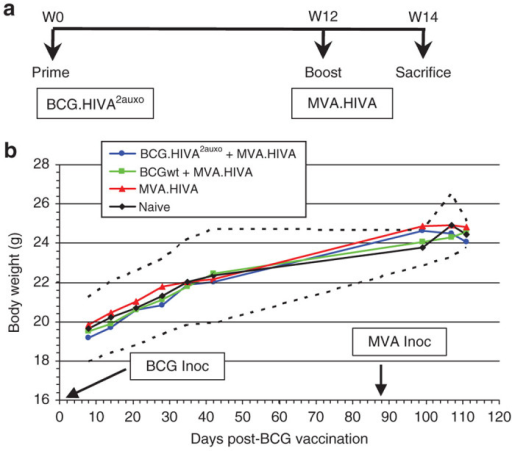 BCG.HIVA2auxo prime and MVA.HIVA boost safety in adult mice. (a) Adult mice were either left unimmunized or immunized with 106 cfu of BCG wild type or BCG.HIVA2auxo by intradermal route and subsequently given a booster dose of 106 pfu of MVA.HIVA at week 12 by intramuscular route. (b) The body weight was recorded over time, and the mean for each group of mice is shown (n = 10 for group 1 and n = 5 for groups 2, 3, and 4). Data from naive mice are presented as mean ± 2 SD (n = 5, dashed lines). The weight differences between vaccinated and naive mice group were analyzed in all monitored time points by analysis of variance test.