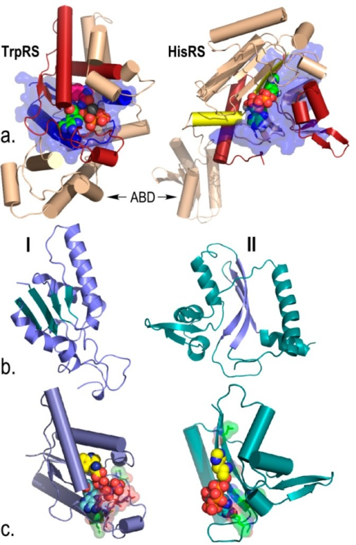 Urzymes isolated from Class I TrpRS (130 amino acids) and Class II HisRS (124 amino acids). (a) Monomer architectures. Both enzymes are dimeric. Monomers consist of two consensus domains, catalytic and anticodon-binding (ABD). The 46-amino acid ATP binding sites are blue and bounded by transparent surfaces; the remainder of the Urzymes are red. Catalytic domains of both also include insertions, colored amber. Active-site ligands are shown as spheres; (b) Secondary structures are dissimilar; Class I is a Rossmann fold with parallel β-strands; Class II is an antiparallel structure; (c) Amino acid (yellow) and ATP (cyan) substrates are spheres. Stick models of Class I-defining signatures PxxxxHIGH (green) and KMSKS (red) and Class II Motif 2 (green) are surrounded by transparent surfaces to reveal catalytically important interactions with ATP. The cartoons are based on crystal structures of the full-length enzymes. However, long-time MD simulations of both Urzymes in the presence of both substrates have shown that the structures shown here persist, but that in the absence of tryptophan the Class I specificity helix above the bound tryptophan re-orients, removing several key interactions involved in specific recognition [21,25,26].