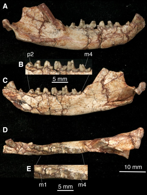 The right mandible of Lotheridium mengi (ZMNH M9032).(A) Lateral view. (B) Close-up view of the lingual side of p2-m4. (C) Lingual view. (D) Occlusal view. (E) Close-up view of the occlusal surface of m1-m4. Scale bar for B and E, 5 mm; Scale bar for A, C and D, 10 mm.
