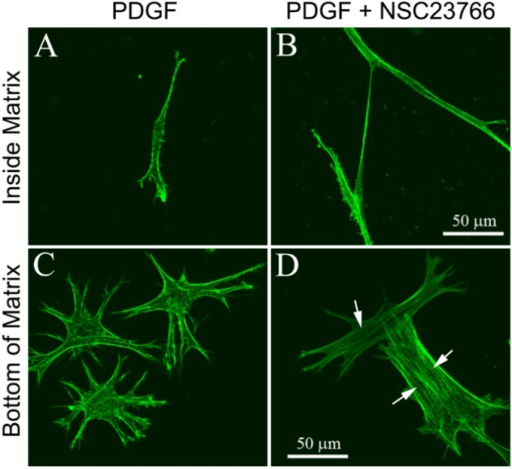 Maximum intensity projections of F-actin organization in serum-starved human corneal fibroblasts inside (A,B) or on the bottom (C,D) of uncompressed hydrated bovine collagen matrices, following 4 days of culture in PDGF BB with or without the Rac1 inhibitor NSC23766 (50 μM). Cells attached to the rigid glass substrate (bottom of matrix) lost their dendritic processes and developed stress fibers (arrows) when Rac1 was inhibited (D).