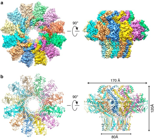 Cryo-EM structure of the T4 portal protein (gp20) assembly.(a) 3D density map of T4 portal protein assembly at 3.6 Å resolution with each subunit colour-coded. Shown are the top view (left) and side view (right). (b) Ribbon diagram of the gp20 atomic model with each subunit colour-coded. Shown are the top view (left) and side view (right).