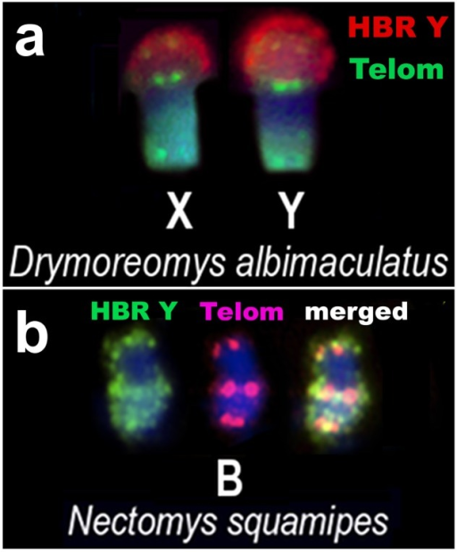 Characterization of Drymoreomys albimaculatus X and Y, and Nectomys squamipes B after hybridization using HBR Y and telomeric sequences as probes (a) Sex chromosomes of a male Drymoreomys albimaculatus after dual-colour FISH. HBR Y signals are red and telomeric sequences are green. (b) Medium metacentric B of N. squamipes after dual-colour FISH. HBR Y signals are green and telomeric sequences are red. Note the pericentromeric ITS linked to OSHR on the X and Y chromosomes of D. albimaculatus and on N. squamipes supernumerary.