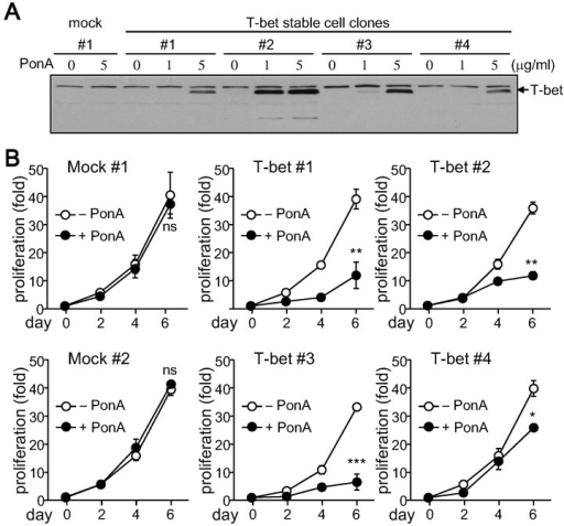 Suppression of cell proliferation by T-bet. Stable T-bet expressing cell clones were established in EcR-HEK cells and maintained in DMEM containing G418 and Zeocin. (A) Stable cells were treated with PonA for 24 h. Protein extracts were prepared from each stable cell clone and analyzed by immunoblotting with the T-bet (4B10) Ab. (B) Stable cell clones were cultured with or without PonA at the indicated concentrations. Cells were counted by Trypan blue exclusion assay every 2 days in triplicate. Data are expressed as the average±SD from 3 separate experiments. ns, not significant; *p<0.05; **p<0.005; ***p<0.0005.