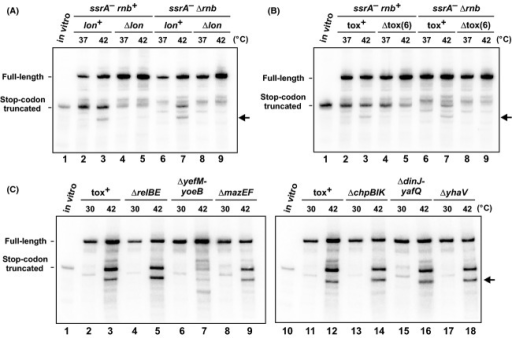 Lon and YoeB are required for temperature-induced A-site mRNA cleavage. (A) flag-(m)ybeL-PP transcripts were expressed in the indicated genetic backgrounds at 37°C and 42°C and analyzed by northern hybridization. (B) flag-(m)ybeL-PP transcripts were expressed in cells that lack six characterized toxin-antitoxin modules (Δtox(6)) at 37°C and 42°C, and compared to background that retain these toxin-antitoxin genes (tox+). (C) flag-(m)ybeL-PP transcripts were expressed in ssrA−Δrnb cells that carry deletions in the indicated toxin–antitoxin genes. Growth at 42°C induces truncated mRNA in all cells except those deleted for yefM-yoeB. The migration positions of stop codon truncated messages are indicated by control transcripts prepared by in vitro transcription. The horizontal arrows indicate an additional truncated transcript that is produced during growth at 42°C.