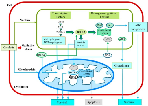 Cisplatin-induced signaling, cisplatin resistance and transcription system in cancer cells discussed in this review. mtTFA functions in both nuclei and mitochondria to not only interact with cisplatin-modified DNA, but also regulate the nuclear and mitochondrial gene expression.