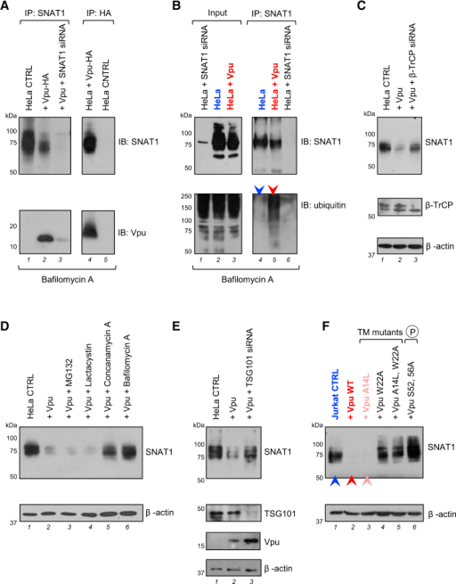 Mechanism of SNAT1 Depletion by Vpu(A) Interaction of SNAT1 with Vpu. HeLa cells stably transduced with Vpu-HA were immunoprecipitated with anti-SNAT1 (G63; first panel) or anti-HA (second panel) antibodies and immunoblotted with anti-SNAT1 (H60) or anti-Vpu antibodies. Untransduced HeLas transfected with SNAT1-specific siRNA were included as controls.(B) Ubiquitination of SNAT1 by Vpu. HeLa cells stably transduced with Vpu-HA were either immunoblotted with anti-SNAT1 (H60) and anti-ubiquitin antibodies (first panel) or immunoprecipitated with anti-SNAT1 (G63) antibody, re-immunoprecipitated with anti-SNAT1 (H60) antibody, and immunoblotted with anti-SNAT1 (H60) and anti-ubiquitin antibodies (second panel). Untransduced HeLas transfected with SNAT1-specific siRNA were included as controls. Ubiquitinated SNAT1 in control (blue arrow) and Vpu-expressing (red arrow) HeLas is highlighted.(C) β-TrCP-dependent depletion of SNAT1. HeLa cells stably transduced with Vpu-HA were transfected with control or β-TrCP-specific siRNA then immunoblotted.(D and E) SNAT1 depletion via an endolysosomal pathway. HeLa cells stably transduced with Vpu-HA were either treated with MG132, lactacystin, concanamycin, or bafilomycin (D) or transfected with control or TSG101-specific siRNA (E) then immunoblotted.(F) Molecular determinants of SNAT1 downregulation. Jurkats stably expressing Vpu WT or indicated Vpu mutants were immunoblotted. Cells transduced with empty vector (blue), Vpu WT (red), and Vpu A14L (pink) are highlighted. The same cells stained with anti-CD4 or anti-tetherin antibodies and analyzed by flow cytometry are shown in Figure S5A.See also Figure S5.