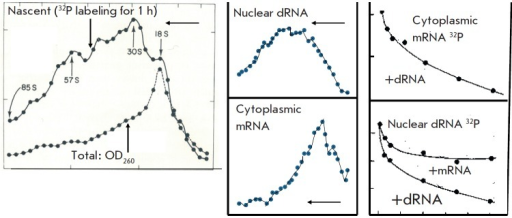Characteristics of nuclear dRNA. (left-hand panel) Ultracentrifugation ofnuclear dRNA labeled for 1 h with 32P in a sucrose density gradient. Significantlyhigher molecular weight of the labeled dRNA than that of total dRNA as determinedby optical density. Here and later, thin arrows indicate the directionof ultracentrifugation. (central panel) Comparison of the molecular weights ofnuclear dRNA and cytoplasmic mRNA labelled in identical conditions (1 h). Theformer has a much higher molecular weight. (right-hand panel) Hybridization oflabeled cytoplasmic mRNA and nuclear dRNA with DNA and competition withunlabeled nuclear dRNA and cytoplasmic mRNA