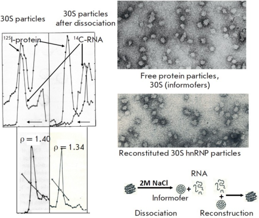 Structure of hnRNP particles. (right-hand panel) RNA- and protein-labeled30S particles (the latter labelled with 125I) before and after treatmentwith 2M NaCl. In contrast to the initial particles, those treated with 2M NaCllost all total RNA, although their sedimentation coefficient and EM dimensionsremained unchanged. Buoyant density decreased from 1.4 to 1.34 g/ml. (lefthandpanel) EM of dissociated and reconstructed 30S particles. (bottom panel)The scheme of dissociation and reconstruction of hnRNP.