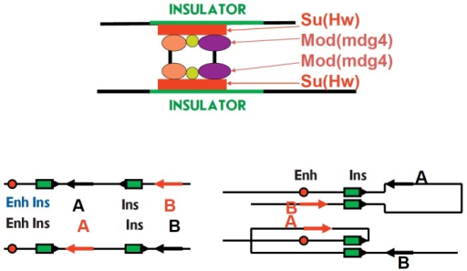 Insulator interactions. Due to the presence of a series of proteins, multiplecontacts are formed in the insulator protein complex and they define strongbinding between insulators and the polarity of their interaction. Only similarlyaligned insulators can bind to each other, which defined the configuration ofthe loop and activation of a gene