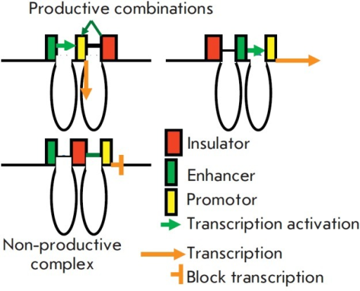 Interaction of insulators with other elements. Insulators interact withpromoters and activate them and with enhancers (more selectively). If an insulatoris located between them and there is no other insulators nearby, it mayinteract with both, forming a non-productive complex