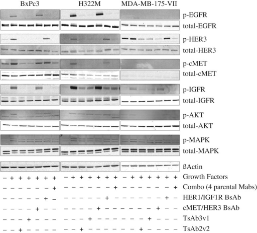 Immunoblot analysis of TsAb3v1 and TsAb2v2 effect on signaling in BxPC3, H322M and MDA-MB-175-VII cells. Expression and phosphorylation status of HER1, HER3, cMet, IGF1R, AKT and MAPK in cells after a 30 minutes incubation with 0.07 µM TsAb3v1, TsAb2v2, BsAb HER1/IGF1R, BsAb cMet/HER3, and the combination of all four parental antibodies. Following the antibody incubation, cells were stimulated with the relative growth factors EGF, Heregulin, HGF and IGF1 for 10 minutes, lysed and subjected to immunoblotting. Tetra-, bi- and monospecific antibody molecules or combinations corresponding to expression and phosphorylation status of RTK are shown as ± symbols below the graph.