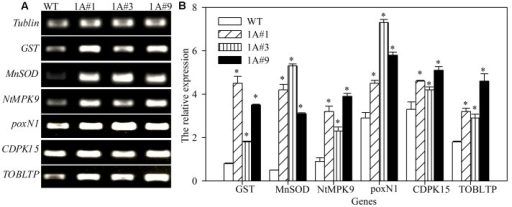 Reverse-transcription-polymerase chain reaction (RT-PCR) analyses of stress-related genes in TheIF1A-transformed tobacco plants. (A) Gel electrophoresis of tobacco GST, MnSOD, poxN1, NtMPK9, CDPK15, and TOBLTP. Tubulin was used as the reference gene. (B) Relative expression level according to tubulin based on (A). All experiments were repeated three times. Data represent the means ± SD of three independent experiments. ∗ Indicates significant differences between the transgenic lines and WT (p < 0.05).