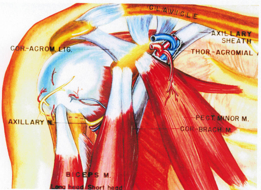 coracoacromial ligament; axillary nerve; biceps brachii muscle; axillary sheath; thoracoacromial artery; pectoralis minor muscle; coracobrachialis muscle