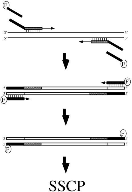 A schematic diagram of fluorescence-adapted SSCP method. F indicates a fluorescent dye (Cy-5). Shadowed boxes are specific primer sequences to amplify the IHRP gene, and black boxes are adapted sequences. These PCR reactions are performed in a single tube