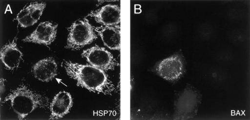 Transformed Cells Hela Hela Cells Were Transiently
