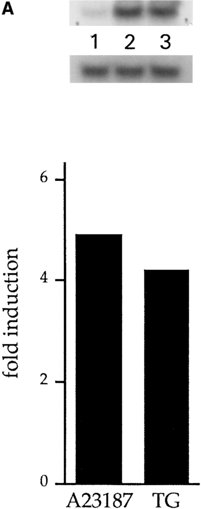 A23187- and thapsigargin-dependent increase in calreticulin mRNA levels (A) and protein levels (B). (A) Nontransfected NIH/3T3 cells were incubated for 16 h with 7 μM A23187,  100 nM thapsigargin, or DMSO. Total RNA was then isolated  and electrophoretically separated on a formaldehyde-agarose gel,  blotted onto Hybond N nylon membrane, and hybridized with  cDNA probes encoding mouse calreticulin and G3PDH, as described in Materials and Methods. (Top) Autoradiogram of a  Northern blot probed with calreticulin and G3PDH cDNA.  (Lane 1) Control cells; (lane 2) A23187-treated cells; (lane 3)  thapsigargin-treated cells. (Bottom) The abundance of calreticulin mRNA (calreticulin mRNA/G3PDH mRNA ratio) was determined using Phosphorimager analysis of Northern blots. (B)  NIH/3T3 cells were incubated for 16 h with 100 nM thapsigargin  and cellular extracts were prepared as described by Mery et al.  (1996). The proteins were separated by SDS-PAGE, transferred  electrophoretically to nitrocellulose membranes, and incubated  with goat anti-calreticulin antibody as described by Milner et al.  (1991). For each condition, three different amounts of cells were  analyzed (lanes 1 and 4, 30,000 cells per well; lanes 2 and 5,  100,000 cells per well; lanes 3 and 6, 150,000 cells per well), and  the immunoblots were scanned by densitometry. (Top, lanes 1, 2,  and 3) Control, untreated cells; (lanes 4, 5, and 6) thapsigargin-treated cells. (Bottom) The slope of the cell number as a function  of OD was obtained by a linear fit to give a relative cellular content of calreticulin (Mery et al., 1996). TG, thapsigargin.
